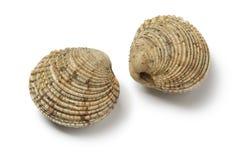 Pair of fresh raw warty venus clams stock image