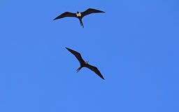 Pair of Frigate Birds Stock Image