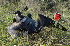 A pair of frigate birds together Stock Photography