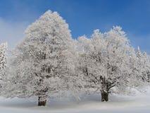 Pair of frozen beech trees. Jura mountain, France Royalty Free Stock Image