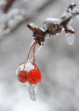 Pair of frozen berries Stock Photography