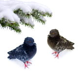 Pair  frozen pigeons Stock Photo