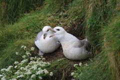Pair of Fulmar (Fulmarus glacialis) on nest. This shows a pair of the sea-birds called fulmar at their nest. One of the birds is clearly calling, it has it's Royalty Free Stock Image