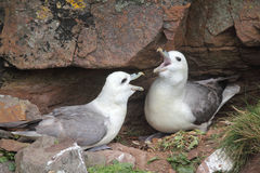 Pair of fulmars (Fulmarus glacialis) cackling stock photography