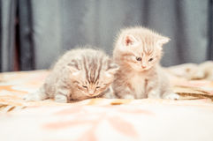 Pair of Funny British cat's kitten Stock Image