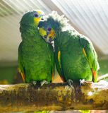 A pair of funny green parrot n royalty free stock photo