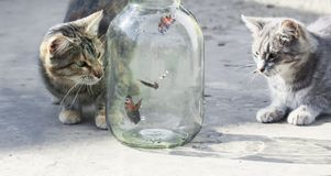 Pair of funny striped cats watching butterflies flying in a glass jar outside in the spring stock image