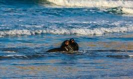 Brown fur seal Arctocephalus pusillus or Austalasian fur seal, stock photo