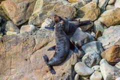 A pair of fur seals - New Zealand royalty free stock photos