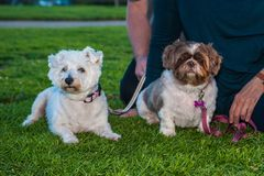 Pair of furry friends. Shih Tzu dog and his terrier friend enjoying the park grass at dusk Stock Photos