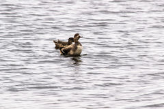 Pair of gadwall ducks Royalty Free Stock Images
