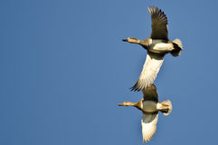 Pair of Gadwall Flying in a Blue Sky Stock Photos