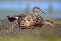 Pair of Gadwall walking on mudflat of wetland Stock Image