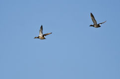 Pair of Gadwalls Flying in a Blue Sky Stock Images