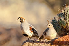 Pair of Gambel's Quail Royalty Free Stock Images