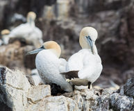 Pair of Gannets on Bass Rock. Two Beautiful Gannets Snuggling Up Together on Bass Rock Stock Photo