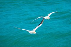 Pair of gannets flying royalty free stock photos