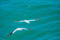 Pair of gannets flying royalty free stock images