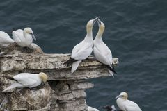 Gannets courting Royalty Free Stock Photo