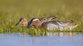 Pair of garganey dabbling duck Stock Photography