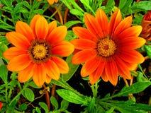 Pair of gazinnias. Beautiful pair of gazinnias in my garden Stock Images