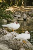 A pair of geese Stock Image