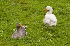 Pair of geese Stock Photo