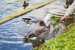 A pair of geese eating grass from the hand of a man. Stock Image