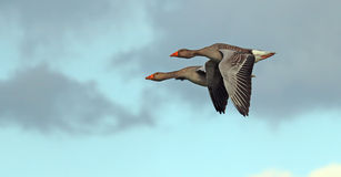A pair of geese flying together. Royalty Free Stock Photos
