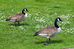 Pair of geese on a green lawn. In a day of spring Stock Image