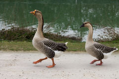 Pair of geese. A pair of geese at the lake is Stock Photos
