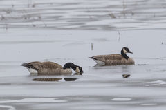 Pair of geese in partly frozen pond. Royalty Free Stock Image