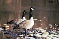 A pair of geese standing on the bank of the Boise river. A river rock and river water background stock image