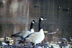 A pair of geese talking it up on the bank of the Boise River Stock Photo