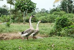 A pair of geese in the village atmosphere stock photography