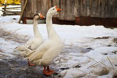A pair of geese, he and she are walking in the courtyard of the village on the eve of spring. royalty free stock photo