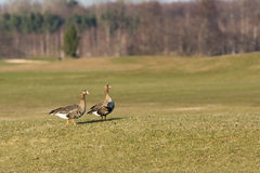 Pair of geese Royalty Free Stock Photography