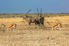 Ethosa. Gemsboks and springboks in Ethosa National Park, dry season, Namibia, Africa Stock Image
