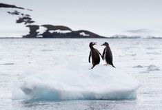 A pair of gentoo penguins Pygoscelis papua sitting on an iceberg with snow covered mountain in background, Antarctica. A pair of gentoo penguins Pygoscelis papua stock photos