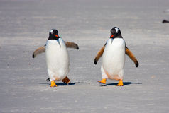Pair of Gentoos royalty free stock photography