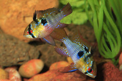 Pair Of German Ram Tropical Fish in Breeding Color. A Mated Pair of German Ram Tropical Fish in Breeding Color stock photos