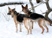A pair of german shepherds. Moscow, january 2009 Stock Photos