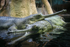 Pair of gharials in water Stock Photos