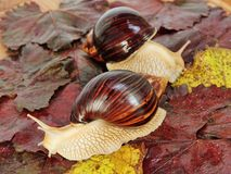 Pair of Giant african Achatina snails on color grape leaves. Pair of Giant african Achatina snails on color grape leaves taken closeup stock image