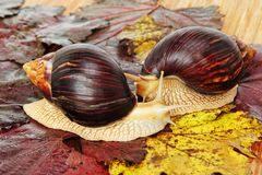 Pair of Giant african Achatina snails on grape leaves. Pair of Giant african Achatina snails on grape leaves taken closeup royalty free stock photos
