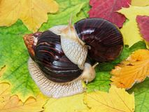 Pair of Giant african Achatina snails on multicolored autumn fol. Iage taken closeup stock photography