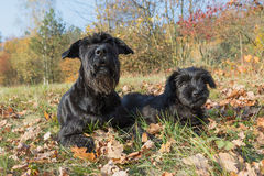 Pair of the Giant Black Schnauzer dog Royalty Free Stock Photography