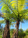 Pair of giant ferns, New Zealand Stock Photos