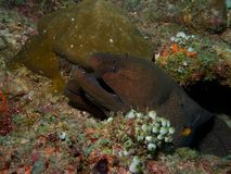 Pair of Giant Moray Eels Royalty Free Stock Photos