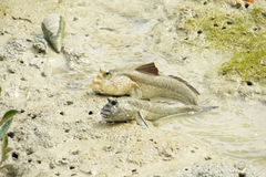 A Pair of Giant Mud Skippers Stock Images